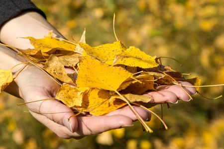 armful: Armful of yellow autumn leaves Stock Photo