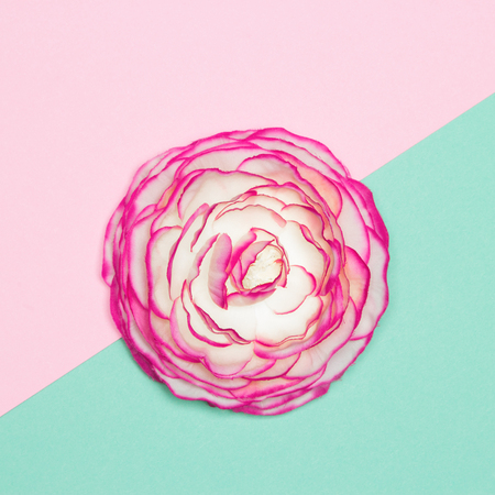 Big beautiful flower close-up on turquoise and pink background. Femininity and fragility minimal concept