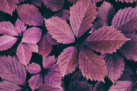 Natural retro nostalgic autumn background. Purple leaves closeup. Fall season nature vintage wallpapers