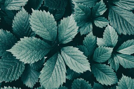 Natural retro nostalgia background. Dark green leaves close-up. Nature vintage wallpapers