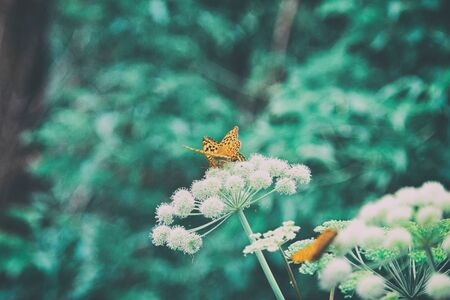 Natural nostalgic background in retro style. Beautiful orange butterflies on umbellate flowers. Nature summer outdoors vintage wallpapers with copy space Фото со стока
