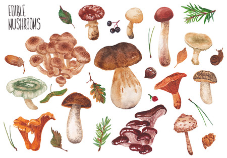 Wild mushrooms on a white background. Many edible mushrooms. Stock Photo