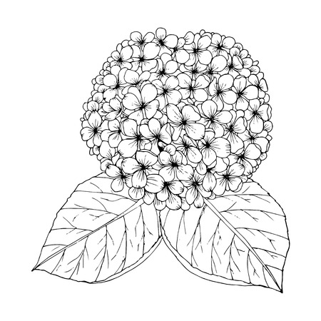Coloring page with doodle flowers vector, Hydrangea. Illustration