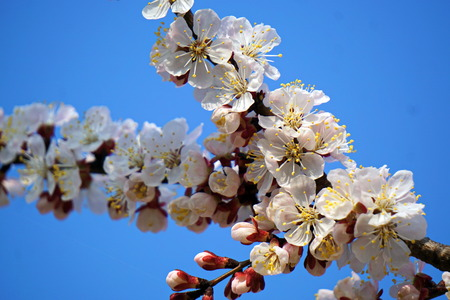 White apricot flowers on a branch, against the blue sky. Spring awakening of nature.