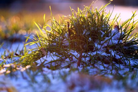 The first spring grass breaks through the snow. Awakening after winter. 免版税图像