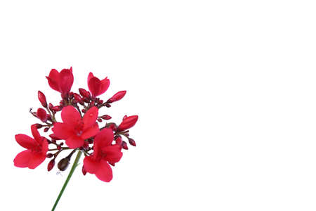 Corsage Red flower isolates on white background.Copy space ,blank free for text. Stock Photo