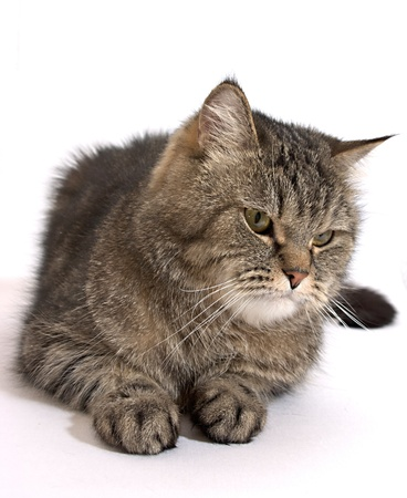 housecat: gray fluffy cat is looking out the side Stock Photo