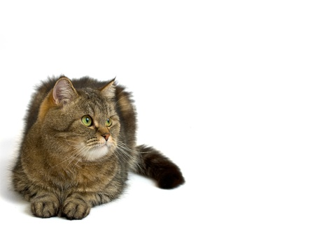 gray fluffy cat is looking out the side Stock Photo - 8942762
