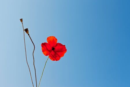 wild poppies against blue sky with seeds photo