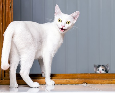 Funny evil white cat with open mouth Banque d'images