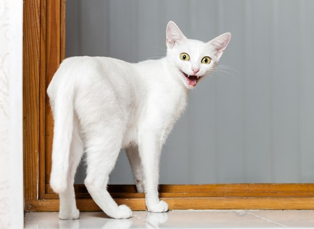 smiling cat: Funny evil white cat with open mouth Stock Photo