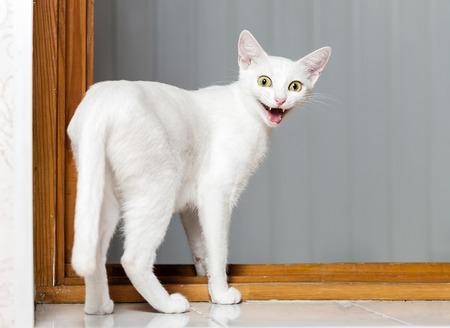 kotów: Funny zło biały kot z otwartymi ustami Zdjęcie Seryjne