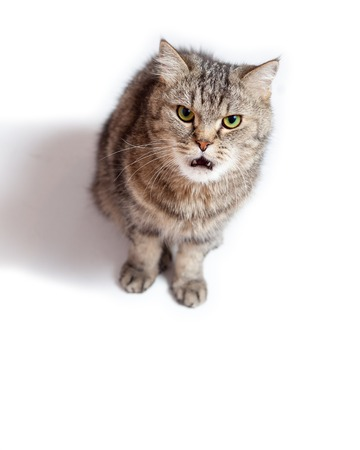 Funny Crazy Cat. Funny evil cat with open mouth.