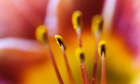 tiger lily: The background. Lily flower. Soft focus Illustration