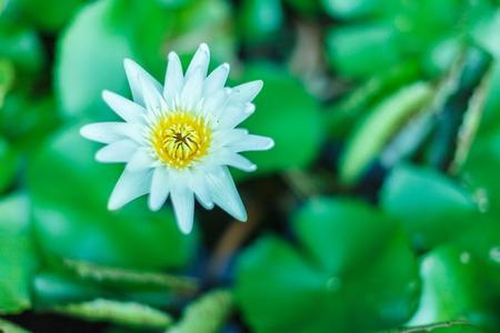 Deze prachtige waterlelie of lotusbloem wordt gecomplementeerd door de rijke kleuren van het diepblauwe wateroppervlak. Verzadigde kleuren en levendige details maken dit tot een bijna surrealistisch beeld. Stockfoto