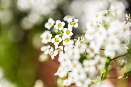 The blossoming tree branch with white flowers on bokeh green background. Vector illustration