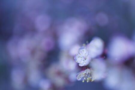 The slightly blurred beautiful apricot white flowers Zdjęcie Seryjne