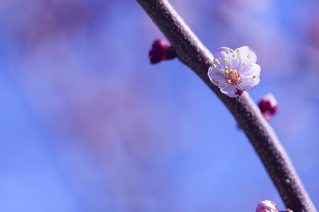 Beautiful flower blossoming cherry in macro closeup. Wallpaper, background, desktop, cover. Archivio Fotografico - 129264732