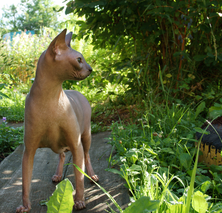 Hairless cat on the path in the garde. Stock Photo