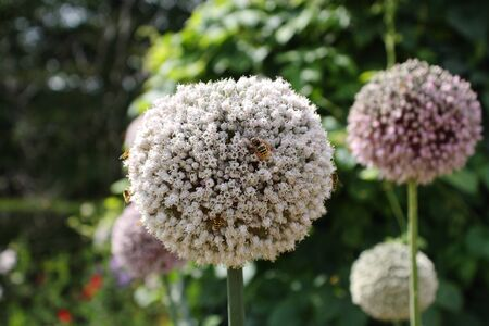 Round Flower with bees - Allium Mont Blanc Stock Photo
