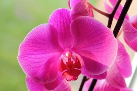 orchidaceae: A macro from a pink orchid (Orchidaceae) Stock Photo