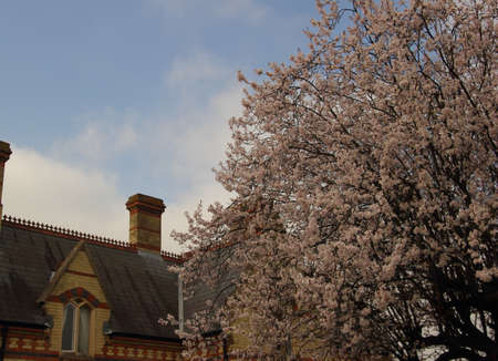 A cherry tree with blossoms in springtime in front of an old english house