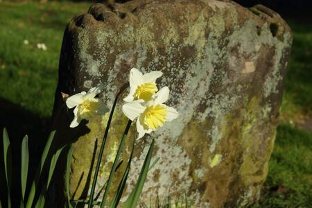 Daffodils  Narcissus  in front of an old gravestone Stock Photo