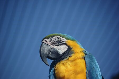 Blue-and-yellow Macaw  Ara ararauna