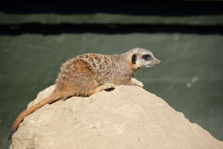 Lying Meerkat  Suricata suricatta  Stock Photo