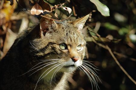 Attentive European Wildcat  Felis silvestris