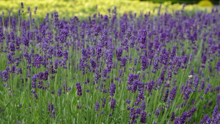 lavandula: Lavender, Lavandula