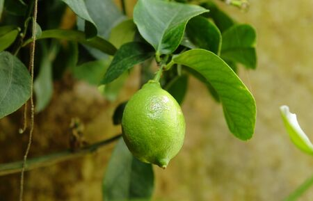 Lime tree Stock Photo