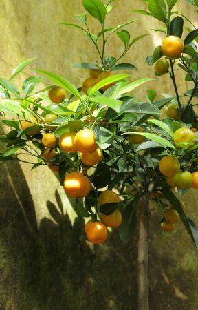 citrus reticulata: Mandarin orange tree, Citrus reticulata