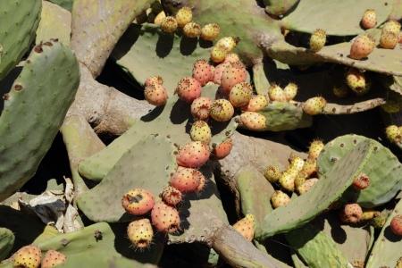 opuntia: Opuntia, cactus fig Stock Photo