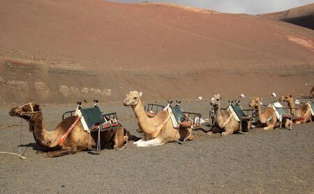 Camels in Timanfaya National Park, Lanzarote