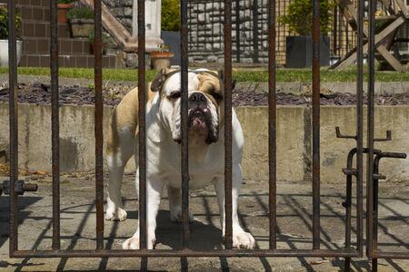 guard dog: A Guard Dog behind a gate