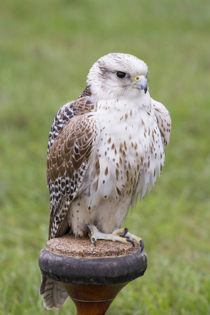 Gyrfalcon - Falco rusticolus photo