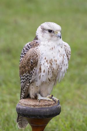 Gyrfalcon - Falco rusticolus