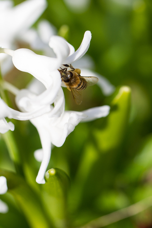 Bee on a white hyacinth