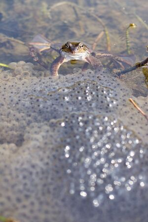 Frog in a lake with spawn Stock Photo
