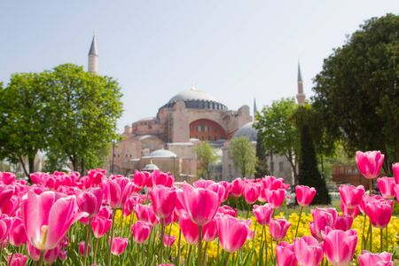 Tulips and Hagia Sophia Istanbul Turkey