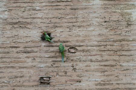 Rose Ringed parakeets on the wall
