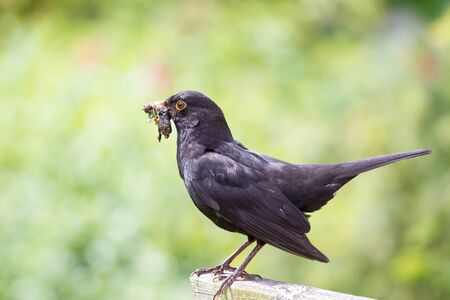 Blackbird with food Stock Photo