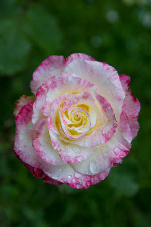 Rose in white and pink with water drops