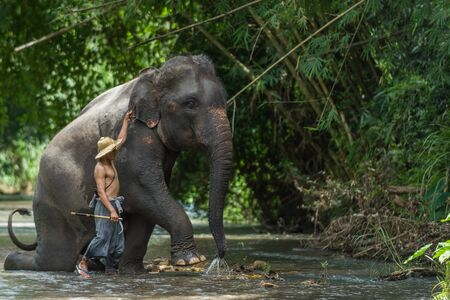 mahout: CHIANGMAI THAILAND  AUG 2014: Mahout preparing asia elephant to show for tourist in the camp. Editorial