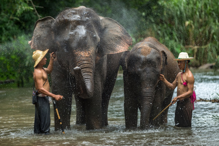 mahout: CHIANGMAI THAILAND  AUG 2014: Asia elephant spurting water spray controlled by mahout.