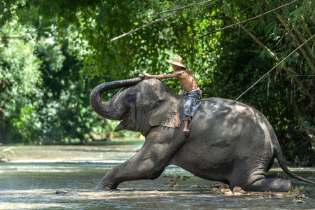 mahout: CHIANGMAI THAILAND  AUG 2014: Mahout feeding asia elephant after teach spurting water spray. Editorial