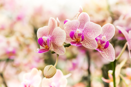 orchid: Streaked orchid flowers. Beautiful orchid flowers. Stock Photo