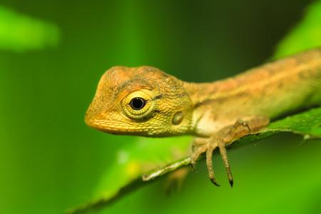 reptile: Reptile iguana on a nature background.