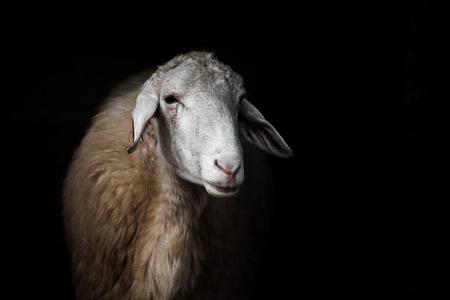 黒い背景に白い羊の肖像画。